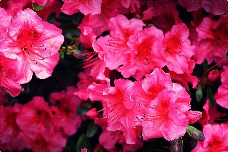 While rose growers living in warmer climates generally prune over winter; for those people living in a cold climate, April is ideal time to prune.